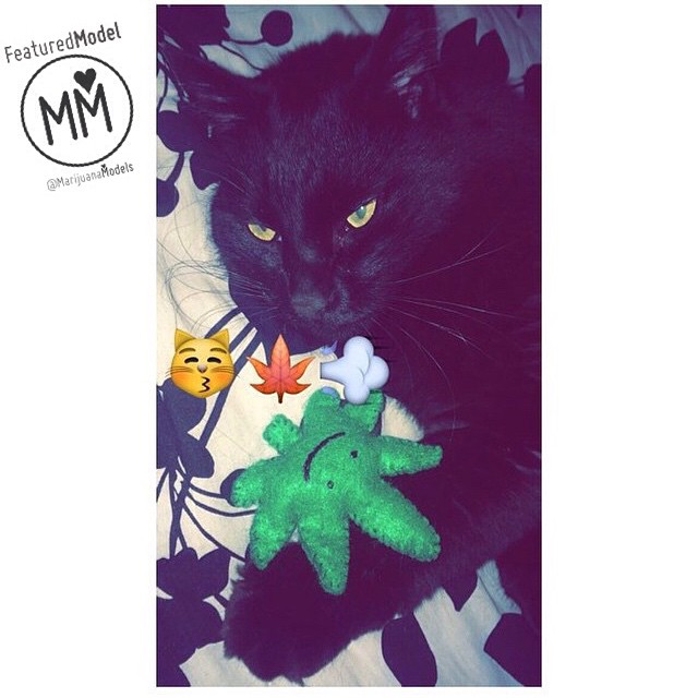 Ft Model @Sarah_star_seed's kitty! Enjoying its KUSHnip I make these myself and hand cut and sew each one one! They're made with organic catnip and come in lots of colors. ️Check out the options in our shop! ️SHOP.KUSHCOMMON.COM Link in bio Worldwide shipping️